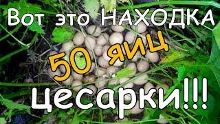 Интересная Находка 50 Яиц Цесарки
