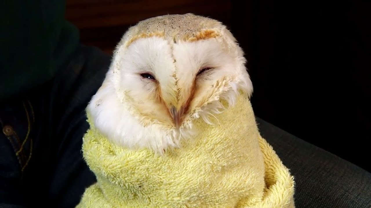 How to check Owls for injuries - The Barn Owl Trust