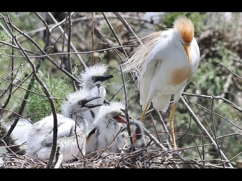 10 M. Documentary About Cattle Egret Nesting In Cyprus  - By George Konstantinou