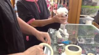 Taping Ears on Chinese Crested puppies