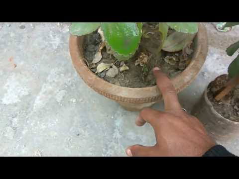 How to grow patharchatta plant care and tips || ‎Kalanchoe Pinnata