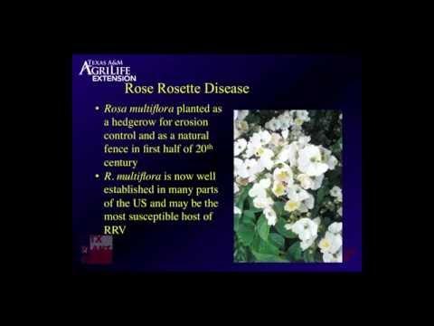 2014 06 04 10 37 Update on Rose Rosette