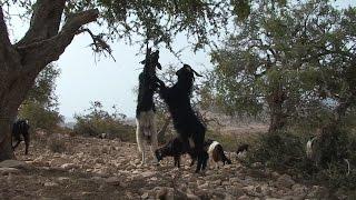 Niezwykly Swiat - Maroko - Drzewa arganowe
