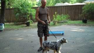 Dallas Dog Training | Rainbow - Australian Shepherd | Redeeming Dogs | Tod Mcvicker Dog Trainer