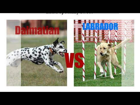 Labrador  vs Dalmatian Dog comparison by Dog Tubed