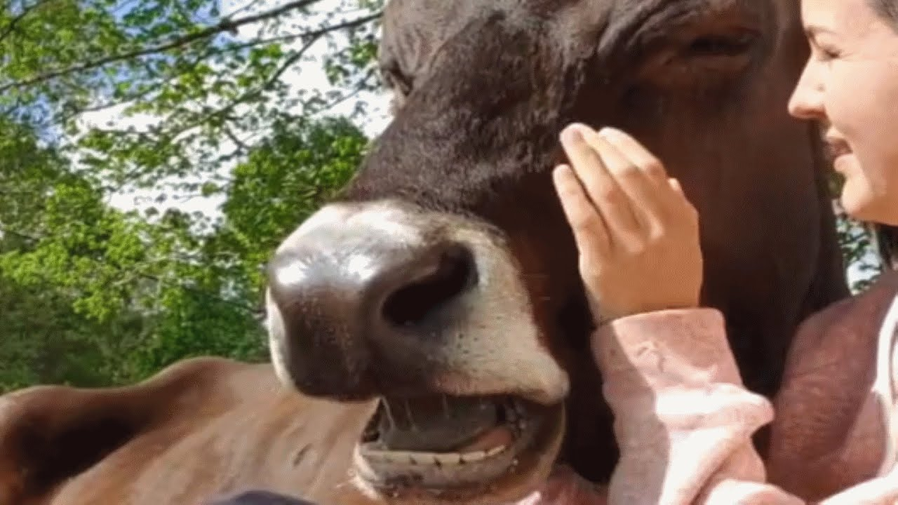 Woman buys house for a rescue cow