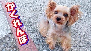 【ヨークシャーテリア専門犬舎チャオカーネ】 ハルとかくれんぼ♪ ◇チャ...