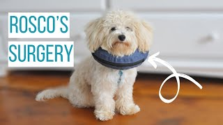 ROSCO GETS NEUTERED | What to Expect After Your Dog is Fixed