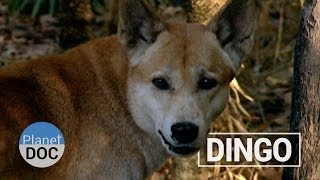 The Dingo´s Strength | Nature - Planet Doc Full Documentaries