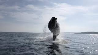 Humpback Whale off Buffels bay - Knysna
