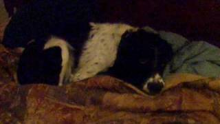 Chloe The Springer Spaniel False Pregnancy