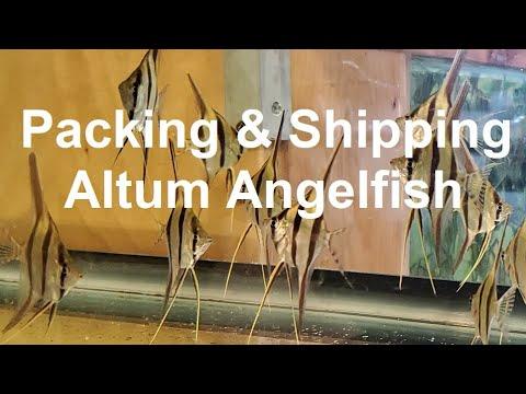 PACKING & SHIPPING P. ALTUM ANGELFISH