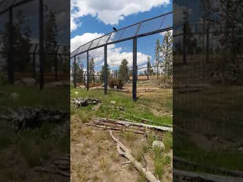 West Yellowstone Wolf and Bear refuge