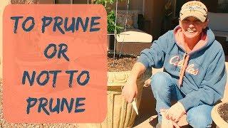 Pruning Tomato Plants - Determinate vs Indeterminate Tomatoes - Do You Need to Prune Tomato Plants