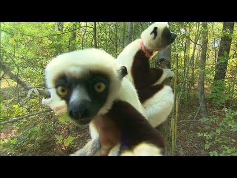 How smart is a Lemur?
