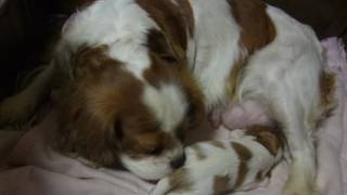 http://cavalier.breeders.jp/