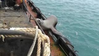 Будешь у нас матросом! ПРИКОЛЫ с животными. Sea Lion Hops Aboard Boat