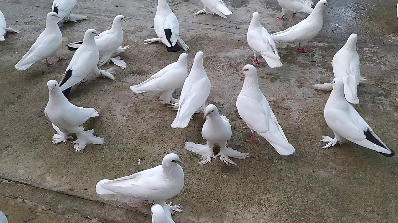 Бойные Голуби. Дополнительный корм для голубей. 06.07.20 Грузия. Тбилиси