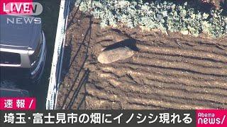 埼玉・富士見市の畑にイノシシ 都内から移動か(19/12/04)