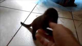 Baby Mongoose feeling playful