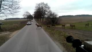 Zwierzyna na drodze