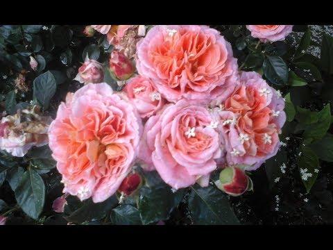 Розы в саду. Обзор.Июль 2019