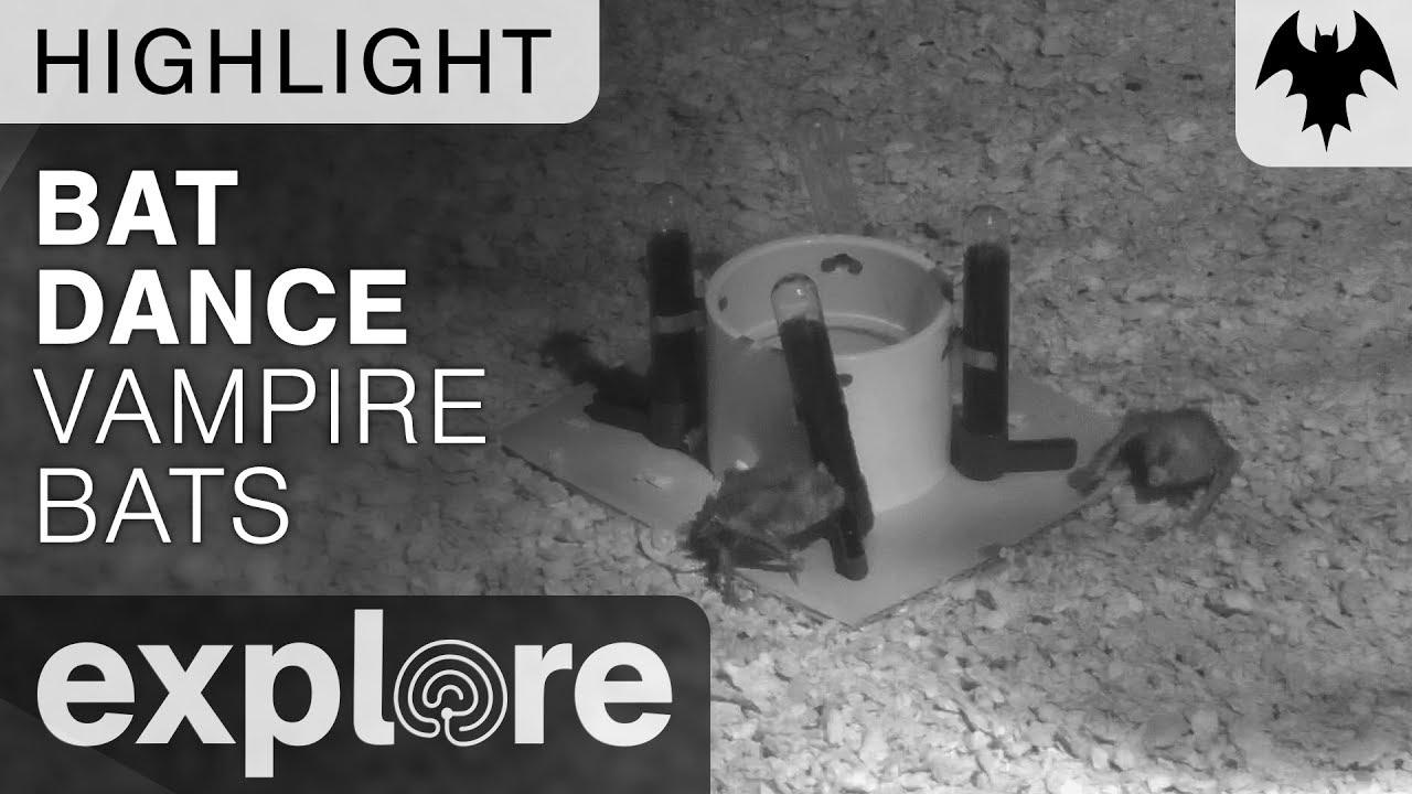 Vampire Bats Circle Dance - Bat Zone - Live Cam Highlight