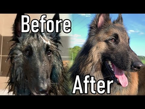 Giving a Bath to my Belgian Shepherd Dog | + Brushing
