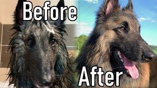 Dando un baño a mi perro pastor belga   + Cepillado