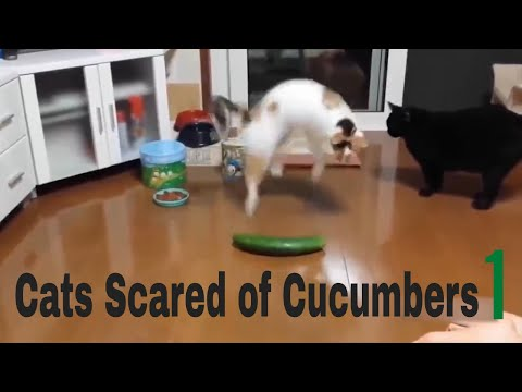 Cats Scared of Cucumbers 1