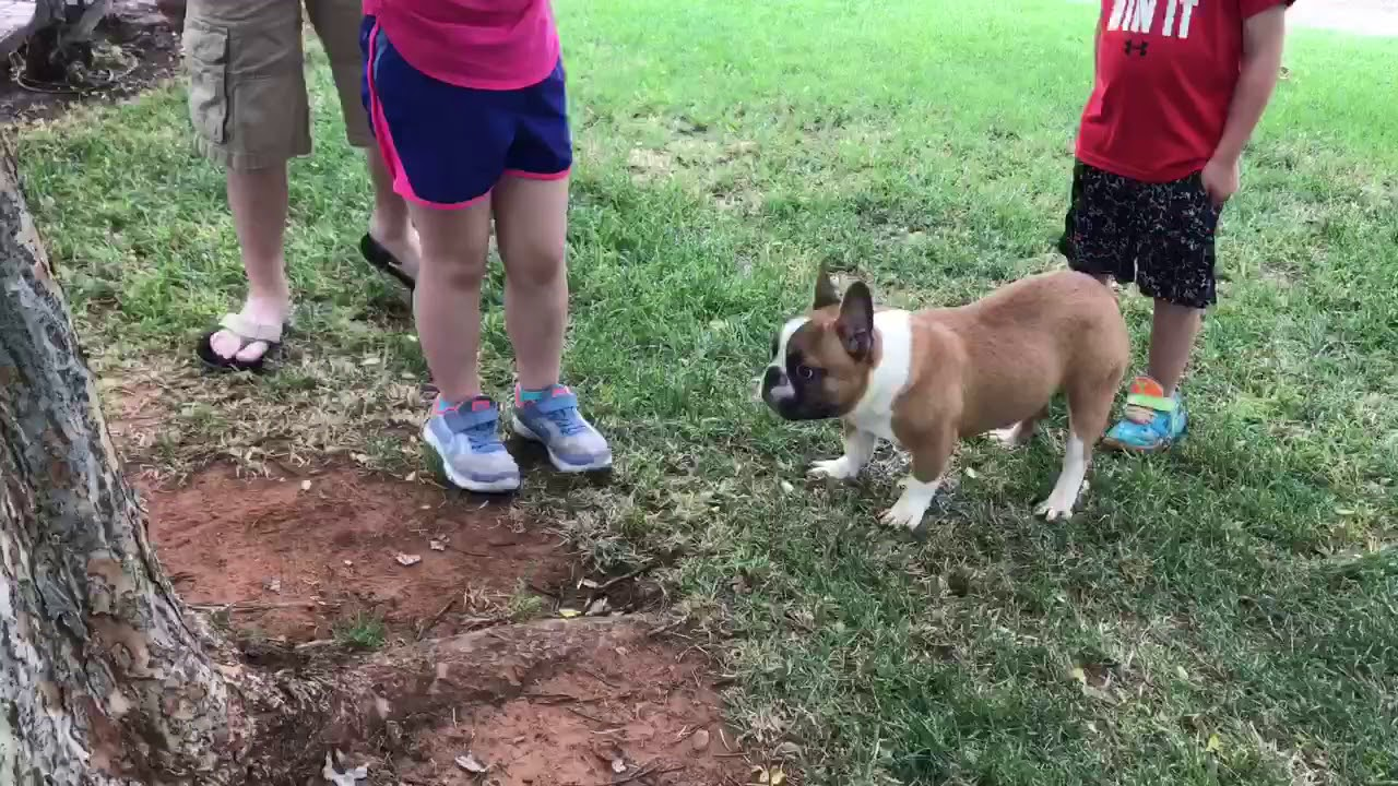 Rumble Pied Red Fawn French Bulldog Stud