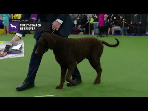 Retrievers (Curly Coated) | Breed Judging 2019