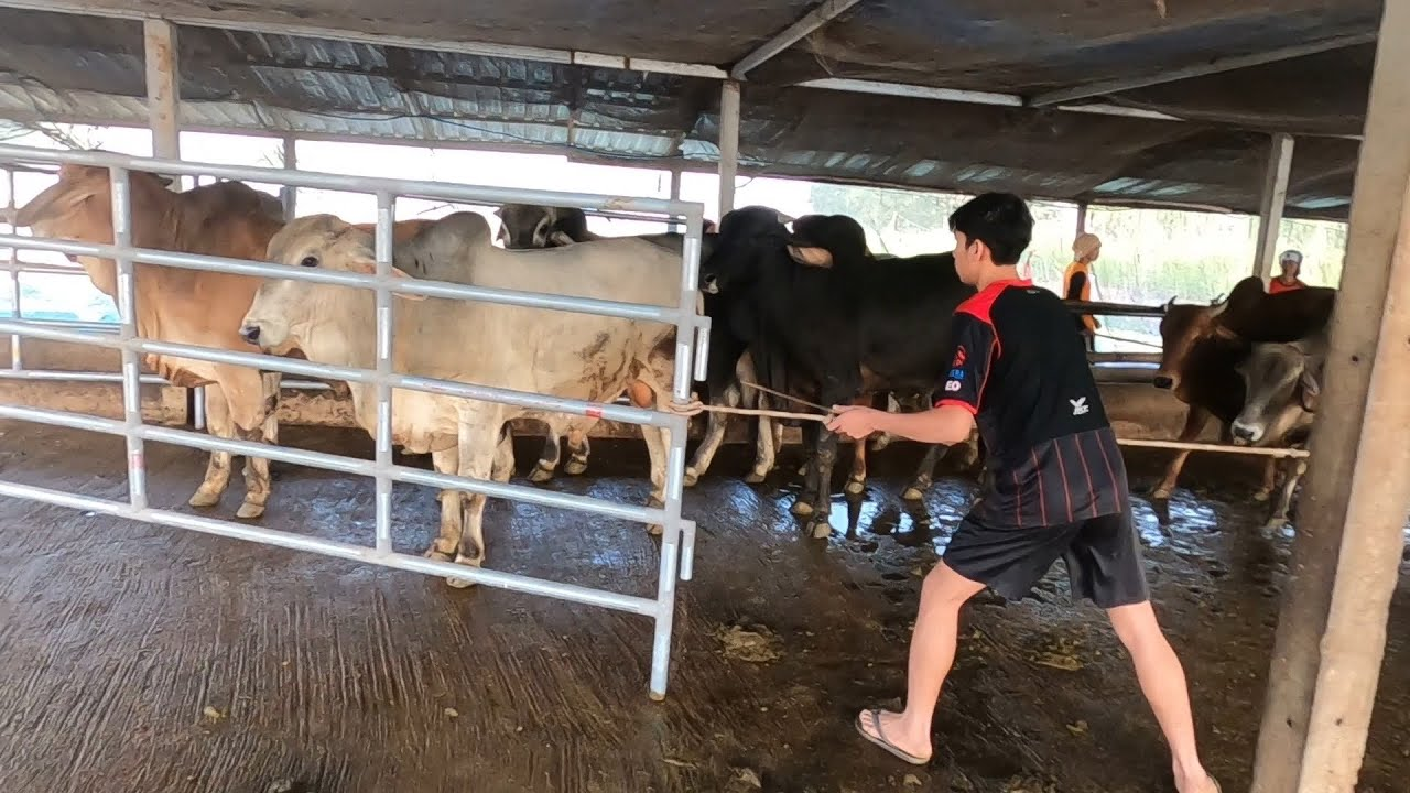 ทีมงานม่วงจับวัวบรามันสวย 48ตัว ตอน2