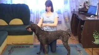 Как подготовить собаку к выставке Хендлинг)   YouTube