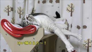キャットタワーで大暴れ。寝転がったまま攻撃するという舐めプを発動する猫☆挑発が上手いニャンよ~☆猫と遊ぶと楽しい☆【リキちゃんねる 猫動画】Cat video キジトラ猫との暮らし thumbnail
