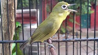 Pleci Lombok Untuk Pancingan Malas Bunyi Terbaik I kecial kuning