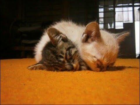 重なり合って眠る2匹の仲良しチビ子猫ちゃん^^Two kittens sleeping【いなか猫1548】japanese funny cat