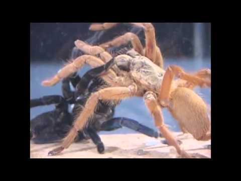 Бои жуков: Бой самых больших пауков.