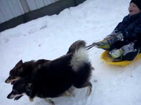 Finnish lapphunds in their element!
