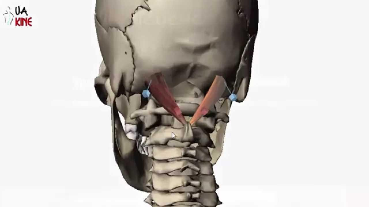 Anatomía Recto Posterior Mayor de la Cabeza - YouTube