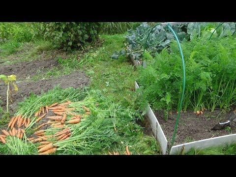 Урожай моркови со 2 грядки, после 'морковного шока'. 2017г.
