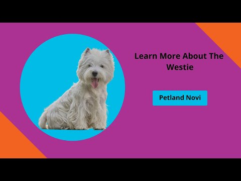 Learn All About Westie Puppies