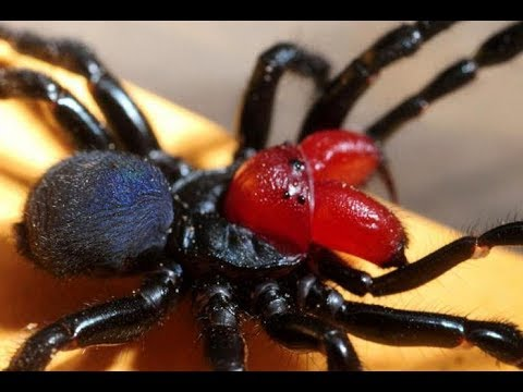 5 Самых опасных пауков в мире