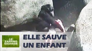 Une gorille sauve la vie d