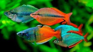Топ 10 самых красивых аквариумных рыбок