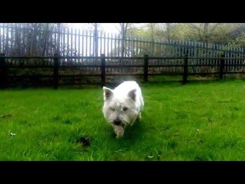 West Highland White Terrier Jake.