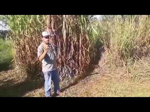 pennisetum purpureum (Napier, cameron, paraiso, e mott)