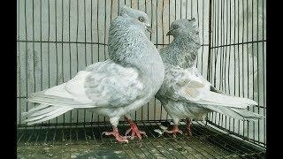 Chuital Hydraulic khaki/silver spring  Pigeons in bd. rahman pigeons loft