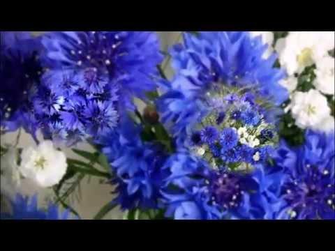 Василек синий - Лекарственные растения и травы.