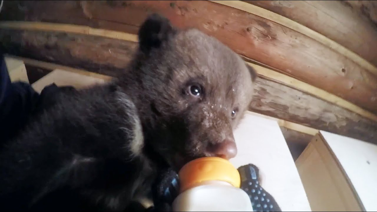 Adorable Bottle-feeding Baby Bears - Gopro